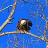 Eagle near the Spearfish City Park