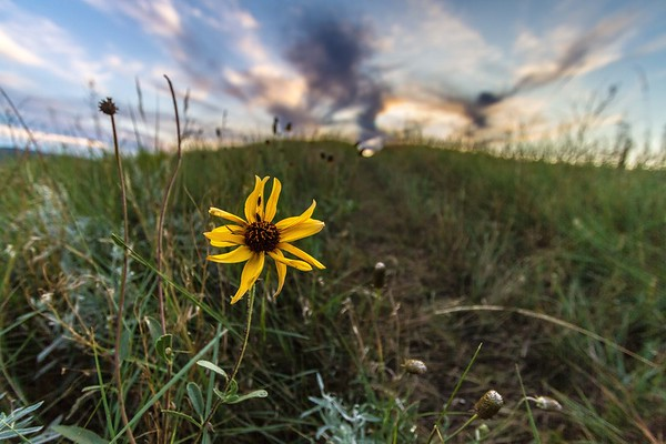 Wildflower on Lookout Mountain in Spearfish