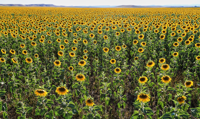 Sunflowers near Fairburn south of Rapid City