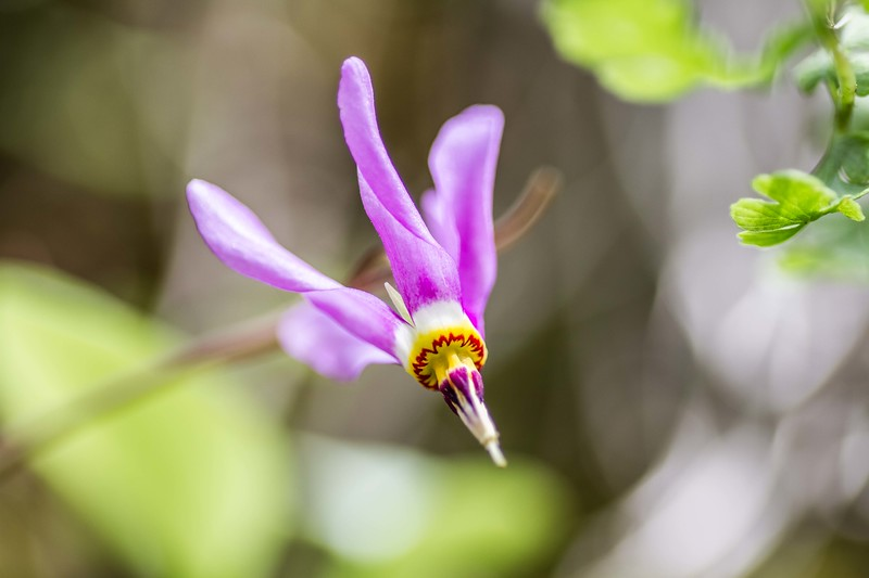 Shooting Star in bloom near Spearfish