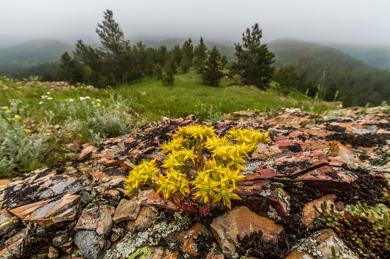 Wildflowers on Polo Peak north of Deadwood