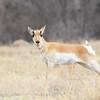 Antelope in Custer State Park