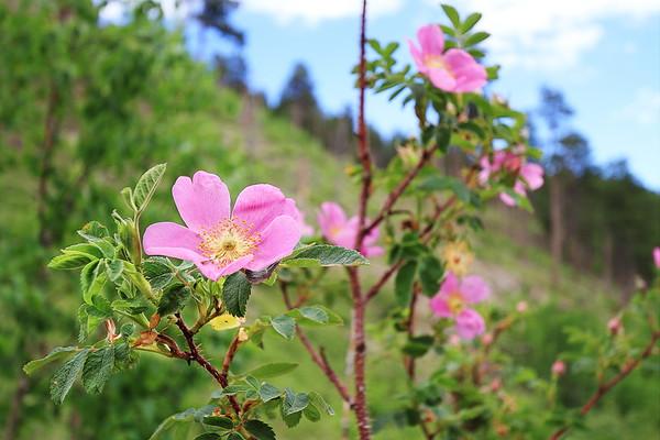 Wild Rose in bloom in the Black Hills