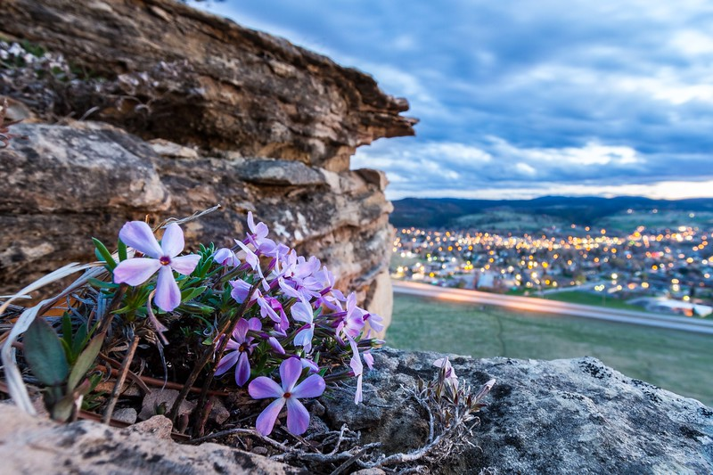 Wildflowers on Lookout Mountain in Spearfish
