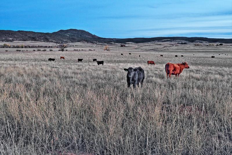 Cows near Crow Peak