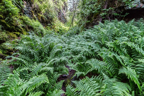Ferns in Spearfish Canyon