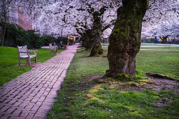 These Cherry Blossom trees have drawn crowds to the U. of Washington campus for a long time.  This long exposure gives a hint of the many visitors this abundance of natural beauty brings to the university campus each year.  USA, 2017