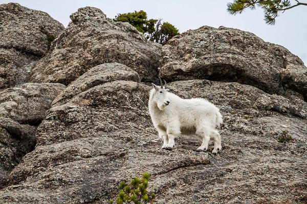 Mountain Goat in Custer State Park