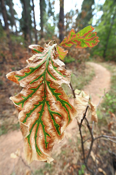Leaves on Crow Peak after the fire