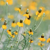 Prairie Coneflower in bloom on Lookout Mountain in Spearfish