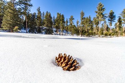 Pine cone in the Black Hills
