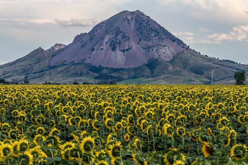 Sunflowers near Bear Butte
