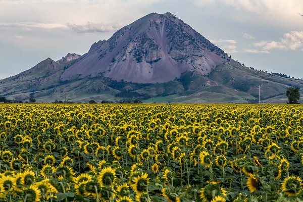 Sunflowers near Bear Butte