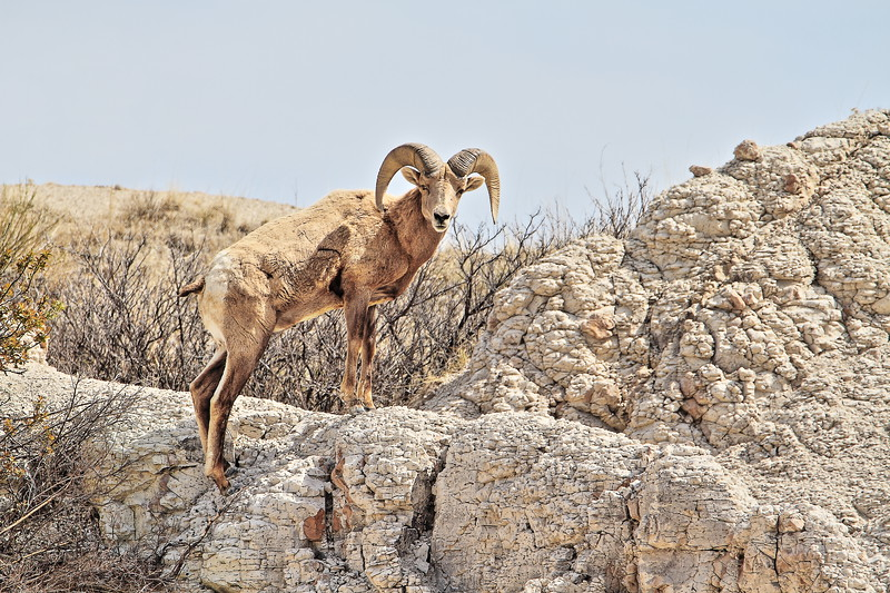 Bighorn Sheep in Badlands National Park