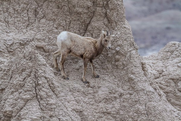 Bighorn Sheep in Badlands National Park