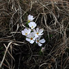 Hood's Phlox in bloom on Lookout Mountain in Spearfish