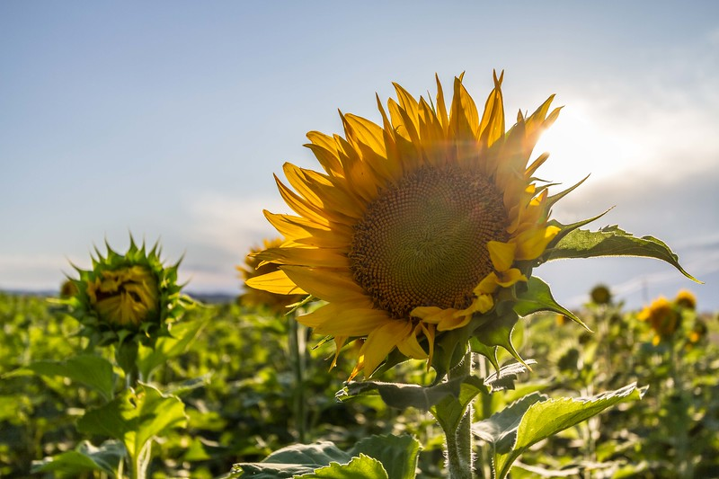 Sunflowers east of Whitewood