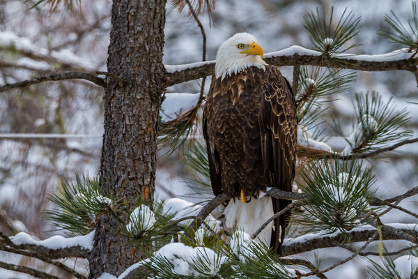 Eagle in Spearfish Canyon