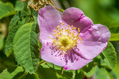 Wild Rose in bloom