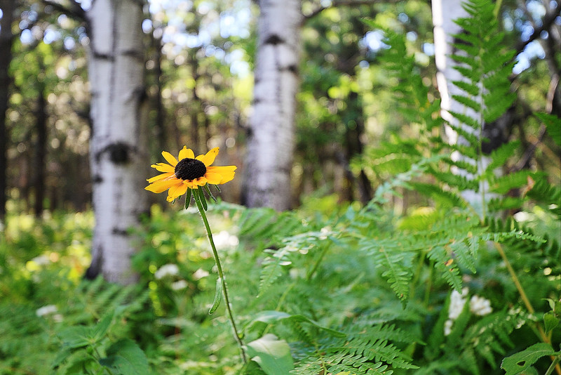 Black Eyed Susan in bloom along the rim of Spearfish Canyon