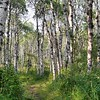 Aspen trees along the Old Baldy Mountain trail
