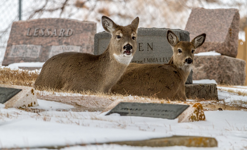 Deer in the St. Aloysius Cemetery in Sturgis