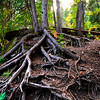Tree roots in Spearfish Canyon