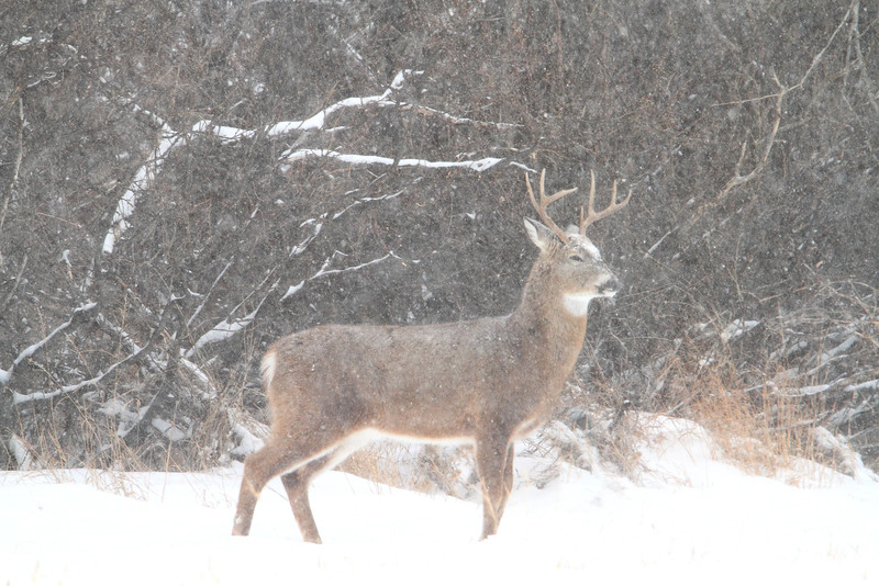 Buck in the snow west of Spearfish