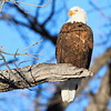 Eagle at the DC Booth Fish Hatchery in Spearfish