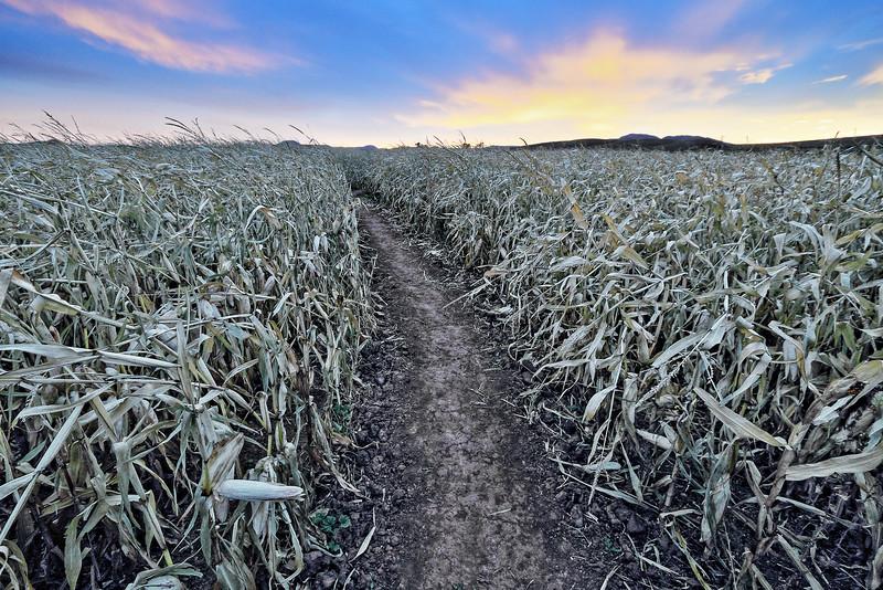 Corn maze near Spearfish