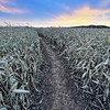 Corn maze near Spearfish