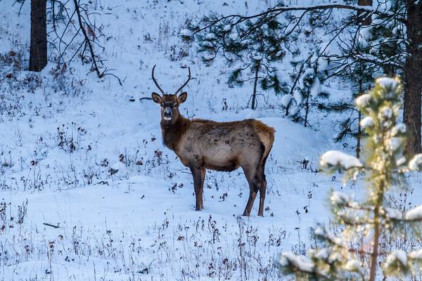 Elk along Highway 385