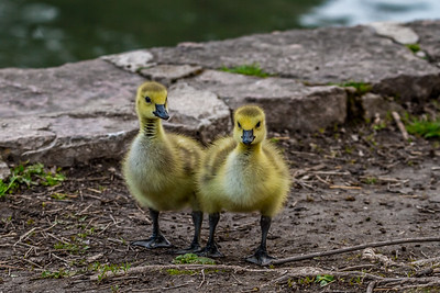 Goslings at the DC Booth Fish Hatchery in Spearfish