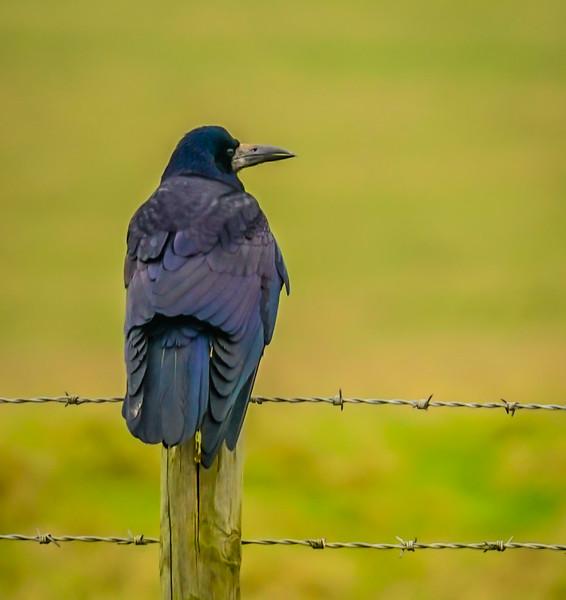 Stonehenge Crow