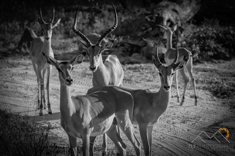 Impalas in Tarangire National park just outside our lodge in Tanzania. Please Follow Me! https://tlt-photography.smugmug.com/