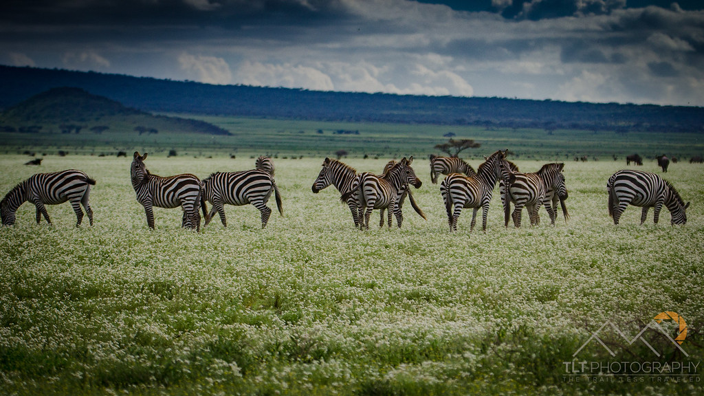 Zebras on our way to Chaka Camp in the Ndutu Region of Tanzania near the Serengeti. Please Follow Me! https://tlt-photography.smugmug.com/