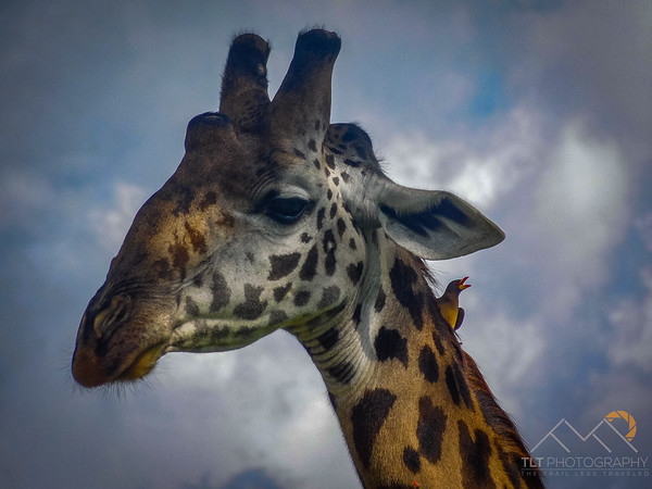 Giraffe with a red billed oxpecker on it's neck. Please Follow Me! https://tlt-photography.smugmug.com/