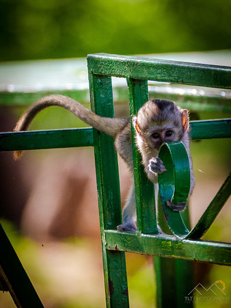 Baby black faced vervet monkey in Tarangire Safari Lodge, Tanzania. Please Follow Me! https://tlt-photography.smugmug.com/