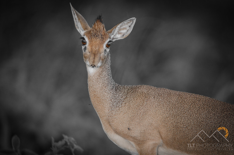 A Dik Dik at The Tarangire Safari Lodge, Tanzania. Please Follow Me! https://tlt-photography.smugmug.com/
