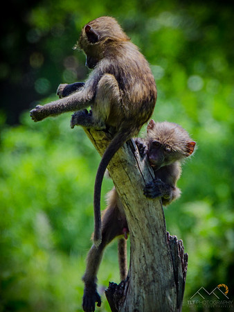 Baboons in Tarangire National Park. Please Follow Me! https://tlt-photography.smugmug.com/