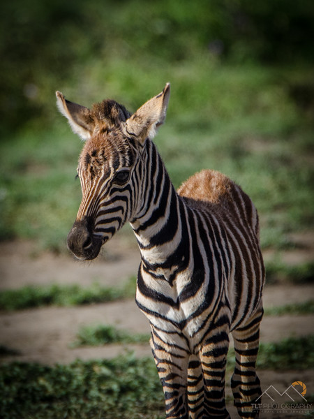 This baby zebra didn't know what to do around safari vehicles.  It's mom was desperately beckoning it to follow her away from them. Please Follow Me! https://tlt-photography.smugmug.com/