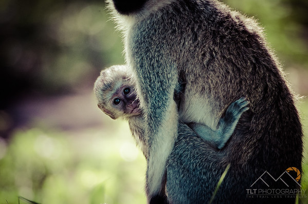 Black faced vervet monkeys in Tarangire Safari Lodge, Tanzania. Please Follow Me! https://tlt-photography.smugmug.com/
