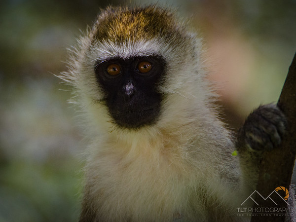Black faced vervet monkey baby in Tarangire National Park, Tanzania. Please Follow Me! https://tlt-photography.smugmug.com/