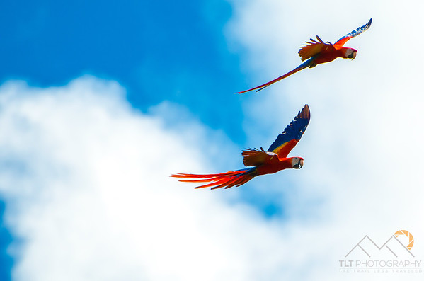 A pair of Scarlet Macaws on our way to Manuel Antonio from Santa Elena in Costa Rica. Please Follow Me! https://tlt-photography.smugmug.com/