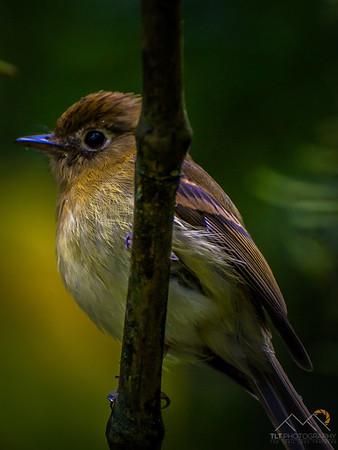 A Flycatcher bird in Monteverde, Costa Rica. Please Follow Me! https://tlt-photography.smugmug.com/
