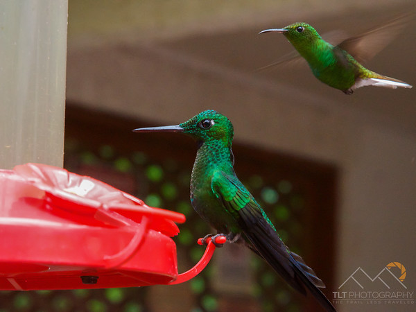 A Cuban Emerald (foreground) and a Coppery-headed Emerald flying, Costa Rica. Please Follow Me! https://tlt-photography.smugmug.com/