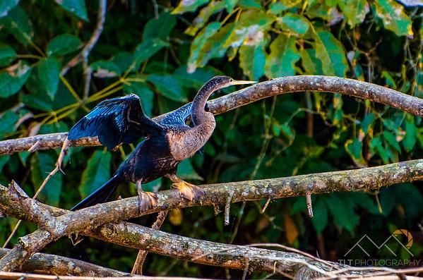 A snake-bird (Anhinga) on the Rio Frio, Costa Rica. Please Follow Me! https://tlt-photography.smugmug.com/