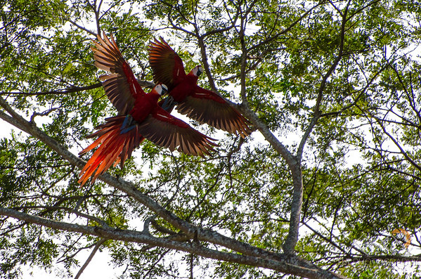 A pair of Scarlet Macaws on our way to Manuel Antonio from Santa Elena. Please Follow Me! https://tlt-photography.smugmug.com/