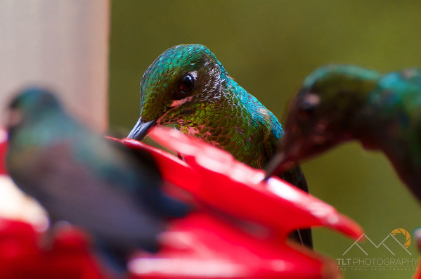 A closeup of a female Violet Sabrewing in Monteverde, Costa Rica. Please Follow Me! https://tlt-photography.smugmug.com/