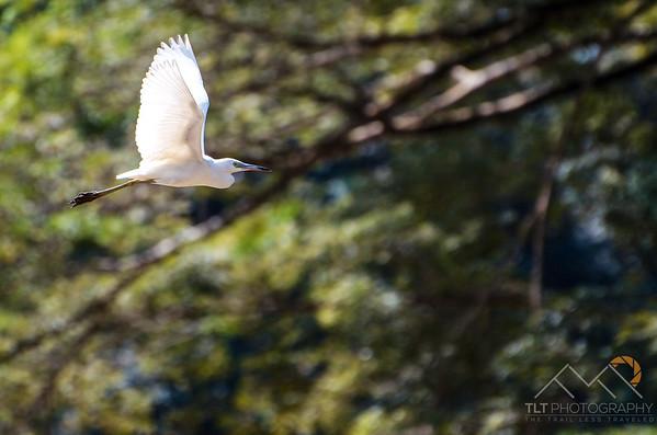 A Snow Egret in Costa Rica. Please Follow Me! https://tlt-photography.smugmug.com/